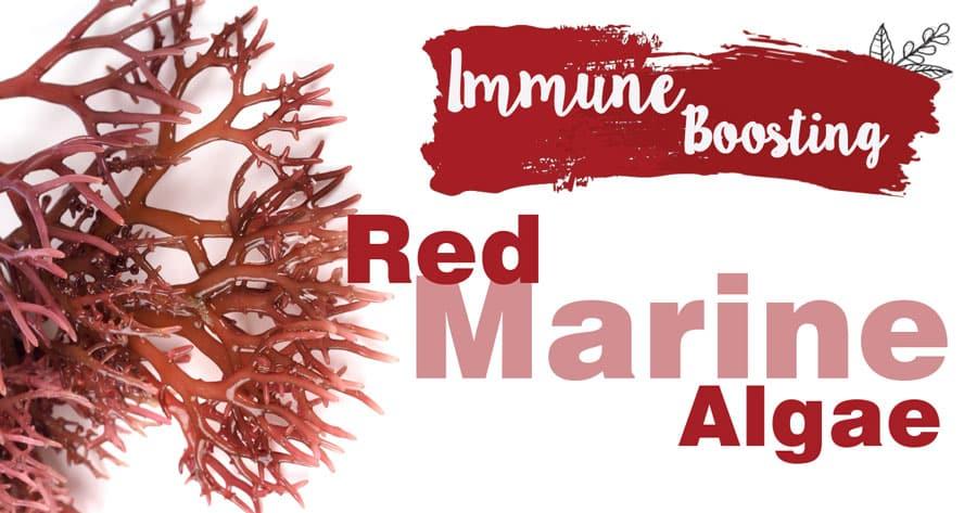 Immune-Boosting Red Marine Algae